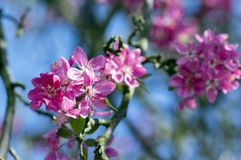 Malus royalty, ornamental apple tree, springtime, purple pink flowers on branches. Blue sky and sunlight stock photos