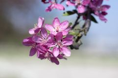 Malus royalty, ornamental apple tree, springtime, purple pink flowers on branches stock photography