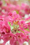 Malus Sparkler. The close-up of flowers of Malus Sparkler Stock Images