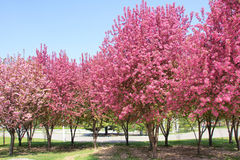 Malus Sparkler. The Malus Sparkler trees are blooming in spring Royalty Free Stock Image