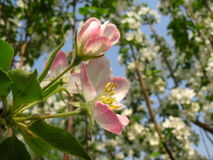 Malus spectabilis Blume lizenzfreie stockfotos
