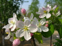 Malus spectabilis flower Stock Photography