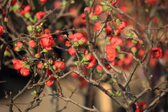 Malus spectabilis flower Royalty Free Stock Images