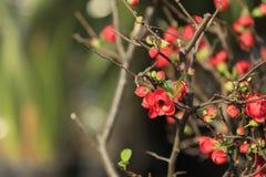Malus spectabilis flower Stock Images