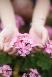 Malus spectabilis in hands. Malus spectabilis hold in both hands Royalty Free Stock Photo