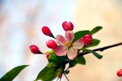 Malus spectabilis. Hope  beautiful flowers macrophanerophytes fruit Stock Photos