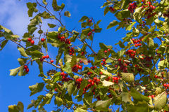Malus sylvestris. The European crab apple, is a species of the genus Malus, native to Europe. Its scientific name means forest apple, and the truly wild tree has Stock Photo