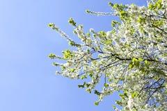 Malusdomestica Blomning för Apple träd mot blå molnig himmel Royaltyfri Bild