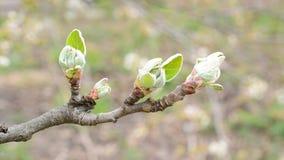 Malusdomestica Close-up van het openen van bladknoppen van appelboom stock videobeelden