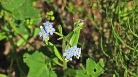 Malutcy dzicy błękitów kwiaty zbiory