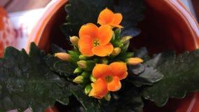 Malutcy pomarańcze kwiaty, pączki i Zdjęcie Stock
