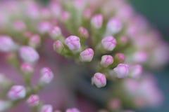 Malutcy różowi kwiatów pączki uśpeni w ogródzie obrazy stock