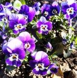 Malutcy wiosna fiołki fotografia royalty free
