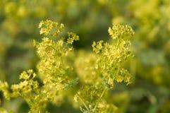 Malutcy zieleni kwiaty damy s salopa zdjęcia stock
