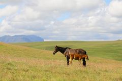 Maluti Ponies Royalty Free Stock Photography