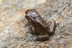 Malutka żaba, 1cm w rozmiarze Zdjęcia Stock