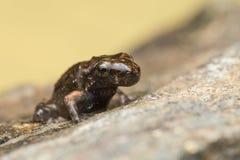 Malutka żaba, 1cm w rozmiarze Zdjęcie Royalty Free