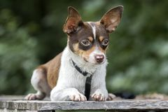 Malutka chihuahua szczura Terrier trakenu psa zwierzęcia domowego adopci mieszająca fotografia zdjęcia royalty free