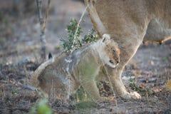 Malutka lwa lisiątka pozycja w strumieniu swój macierzysta ` s uryna na zimnym dniu Obrazy Royalty Free