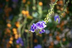Malutka purpura kwitnie z światłem słonecznym na zamazanym tle zdjęcie stock