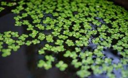 Malutka zielona roślina w wodzie Fotografia Royalty Free