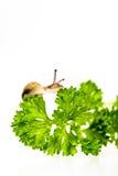 Malutki ślimaczek na pietruszce Zdjęcia Royalty Free