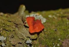 Malutki Czerwony Grzybowy dorośnięcie od gałąź Zjednoczone Królestwo - Makro- fotografia - zdjęcie royalty free