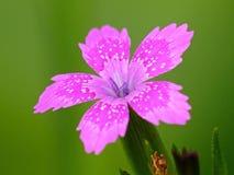 Malutki Jaskrawy menchia kwiatu Dianthus Armeria zdjęcia stock