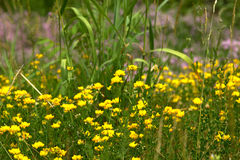 Malutki kolor żółty kwitnie w polu Zdjęcia Royalty Free