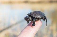 Malutki lub mały dziecko żółw jest przy poradą palec wskazujący z malutką skorupą, głowa i nogi zamykają up z rozmytym tylni tłem Zdjęcia Royalty Free
