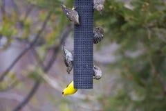 Malutki męski Amerykański szczygieł widzieć wiszący do góry nogami od dozownika zdjęcie stock