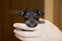 Malutki mały czarny szczeniak w ona ręki Obrazy Royalty Free