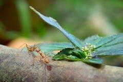 Malutki mrówka światu Makro-, selekcyjny (, ostrości środowisko na liścia tle) Fotografia Royalty Free