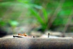Malutki mrówka światu Makro-, selekcyjny (, ostrości środowisko na liścia tle) zdjęcia stock