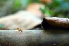 Malutki mrówka światu Makro-, selekcyjny (, ostrości środowisko na liścia tle) obrazy royalty free