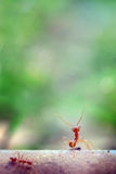 Malutki mrówka światu Makro-, selekcyjny (, ostrości środowisko na liścia tle) Zdjęcia Royalty Free