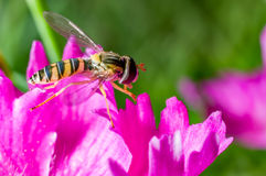 Malutki na purpurowym kwiacie hoverfly Zdjęcie Stock