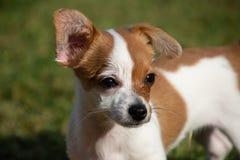 Malutki pies z jeden ucho up i jeden ucho puszkiem zdjęcie stock