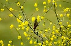 Malutki Ptasi Wiszący Do Góry Nogami Wśród Żółtych kwiatów Zdjęcie Stock