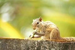 Malutki Wiewiórczy Sri Lanka zdjęcie royalty free