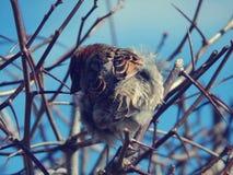 Malutki wróbel pokazuje swój puszystych piórka Zdjęcia Stock