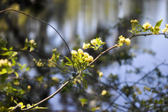 Malutkie żółte róże Zdjęcia Royalty Free
