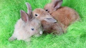 Malutkie długie słyszące domowe zając, króliki czołgać się na zielonej podłoga, mali śliczni kolorowi zwierzęta zdjęcie wideo
