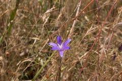 malutkie fioletowy kwiat Zdjęcie Royalty Free