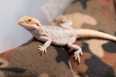 Malutkiego gekonu wspinaczkowy up fotografia stock