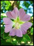 Malva μακρο τυπωμένες ύλες Καλών Τεχνών ταπετσαριών υποβάθρου λουλουδιών στοκ φωτογραφία
