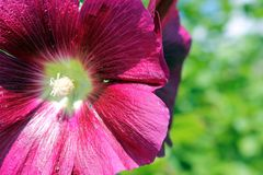 Malva. Large and bright Malva flower burgundy in the sun Stock Images