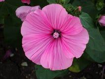 Malva, acción-rosa, o malva, una planta ornamental popular en jardines en el pasado reciente imágenes de archivo libres de regalías