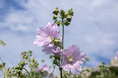 Malva alcea in bloom, pink flower on stem with leaves. Sunlight, summer season, blue sky with clouds Stock Image