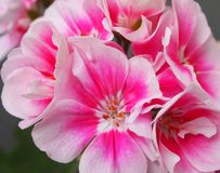 Malva. A beautifl Malva (also called Pelargonium Royalty Free Stock Photo